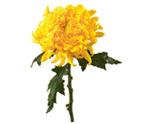 Chrysanthemum(mums)