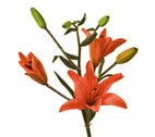 Lily(asiatic)