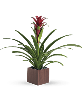 Teleflora's Bromeliad Beauty, picture