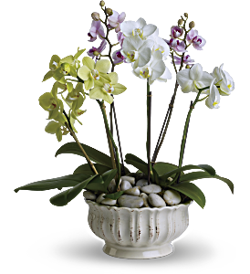 Regal Orchids, picture
