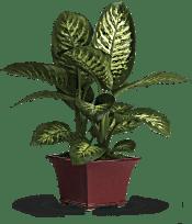Delightful Dieffenbachia Plants