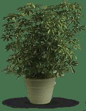 Amazing Arboricola Plants
