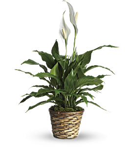 Simply Elegant Spathiphyllum - Small, picture