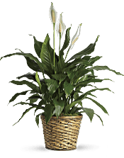 Simply Elegant Spathiphyllum - Medium Plants
