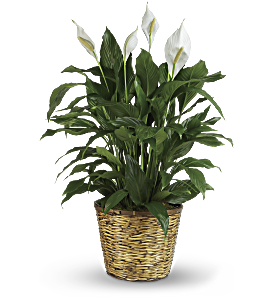 Simply Elegant Spathiphyllum - Large, picture