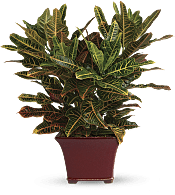 Stately Croton Plants