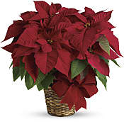 Plantes - Poinsettias rouges