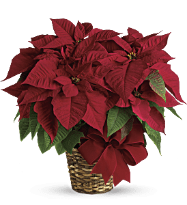 Red Poinsettia, picture