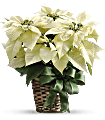 White Poinsettia Plants