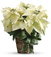 Plantes - Poinsettias blancs