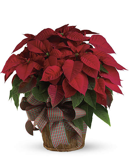 Large Red Poinsettia Plants Large Red Poinsettia Plant Basket