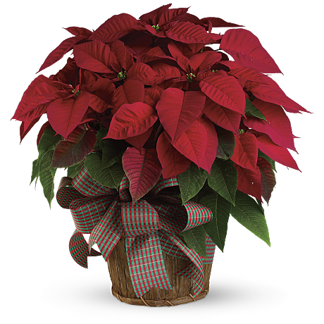Poinsettia Facts With Diy Crafts Amp Planting Guide Teleflora