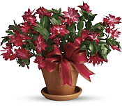 Merry Christmas Cactus Plants
