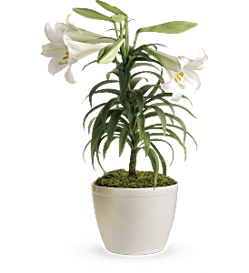 Easter Lily Plant, picture