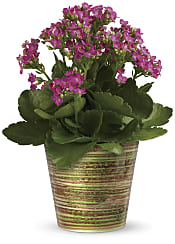 Simply Happy Kalanchoe Plant  Plants
