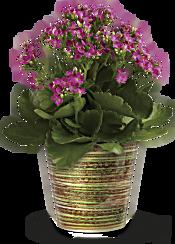 Simply Happy Kalanchoe Plant by Teleflora Plants