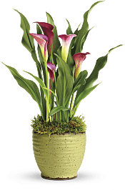 Spring Calla Lily  Plants