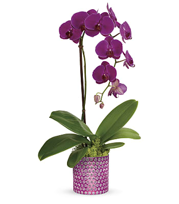 Dazzling Orchid Plants