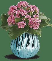 Blooming Gem Kalanchoe  Plants