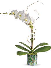 Stained Glass Orchid Plants