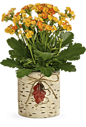 Teleflora's Living Autumn Kalanchoe  Plants