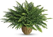 Heartwarming Thoughts Boston Fern Flowers