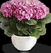Happy Hydrangea - Pink Plants