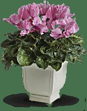 Sunny Cyclamen Plants