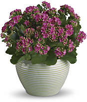 Bountiful Kalanchoe Plants