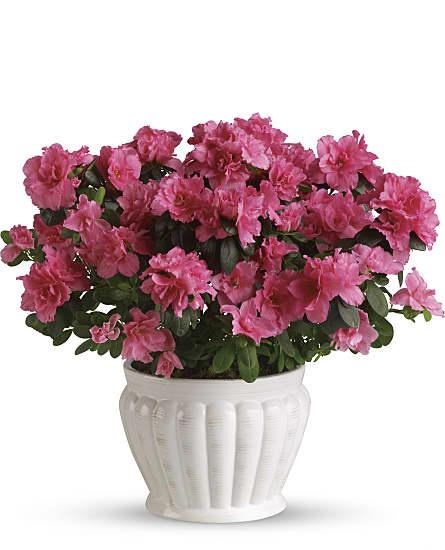 Pretty in pink azalea plants pretty in pink azalea plant basket pretty in pink azalea plants mightylinksfo
