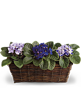 Sweet Violet Trio, picture