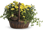 Yellow Trio Basket Plants