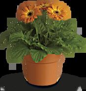 Rainbow Rays Potted Gerbera - Orange Plants