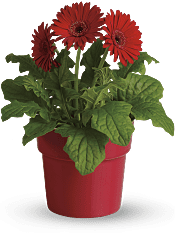 Rainbow Rays Potted Gerbera - Red Plants