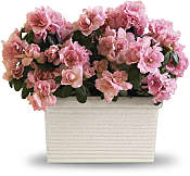 Sweet Azalea Delight Plants