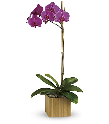 Imperial Purple Orchid Plants
