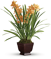 Regally Yours Orchid Plants