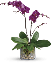 Glorious Gratitude Orchid Plants