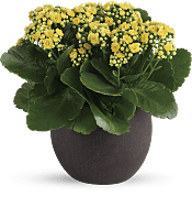 Forever Yellow Kalanchoes Plants