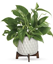Lush Leaves Pothos Plant Flowers