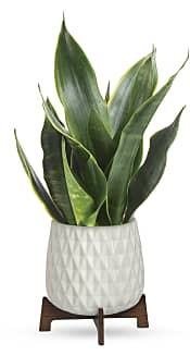 Growing Art Sansevieria Plant Flowers
