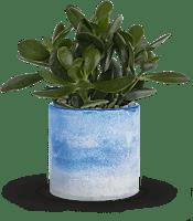 Sky Glass Jade  Plants