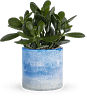 Teleflora's Sky Glass Jade  Plants