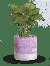 Lavender Frost  Plants