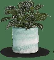 Seaside Mist  Plants