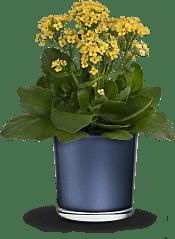 Golden Morning  Plants