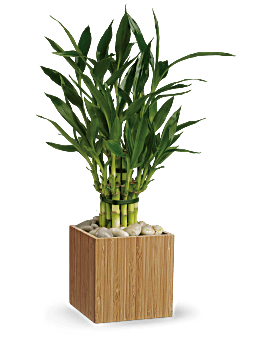 Teleflora's Good Luck Bamboo Plant