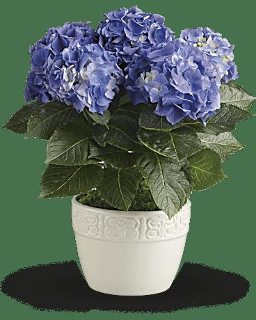 happy hydrangea  blue plant  teleflora, Beautiful flower