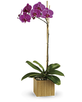 Teleflora's Imperial Purple Orchid Plant