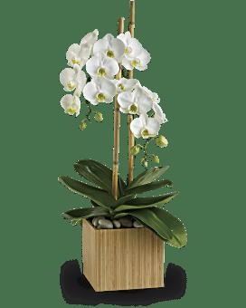 Orchidées opulentes de Teleflora – Plante